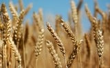 Which are wheat and which are tares?