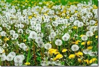419162-dandelion-field