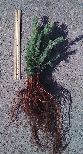 Blue Spruce Seedling
