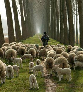 Sheep with Shepherd
