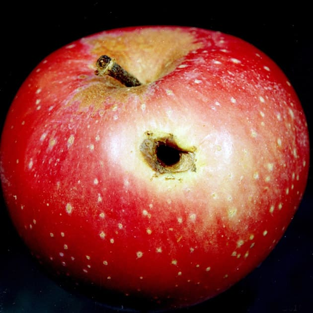Apple with worm hole