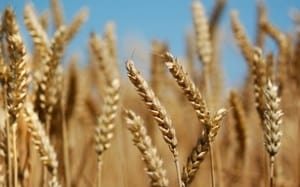Wheat and Tares
